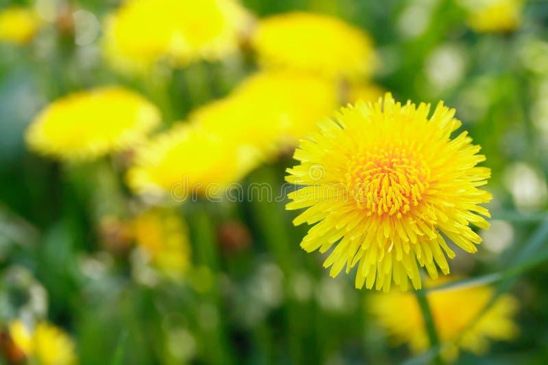 Κίτρινη πικραλίδα στοκ φωτογραφίες με δικαίωμα ελεύθερης χρήσης