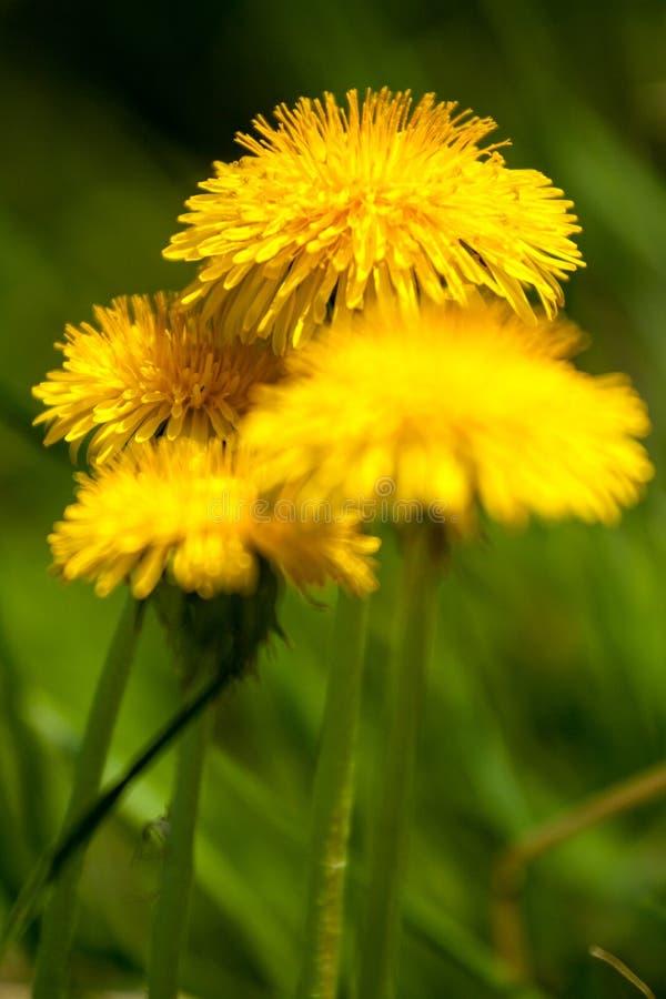 Κίτρινη πικραλίδα στοκ εικόνες με δικαίωμα ελεύθερης χρήσης
