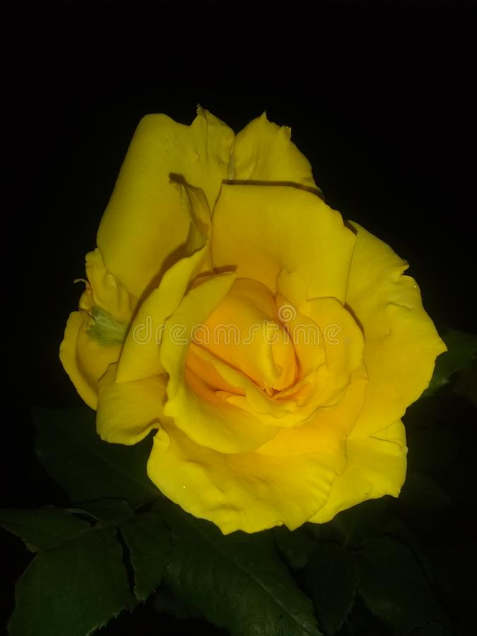 Κίτρινη στενή επάνω μαύρη πτώση άνθισης λουλουδιών στοκ εικόνες