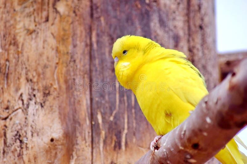 Κίτρινη συνεδρίαση Parakeet Melopsittacus Undulatus στον κλάδο στοκ φωτογραφία με δικαίωμα ελεύθερης χρήσης