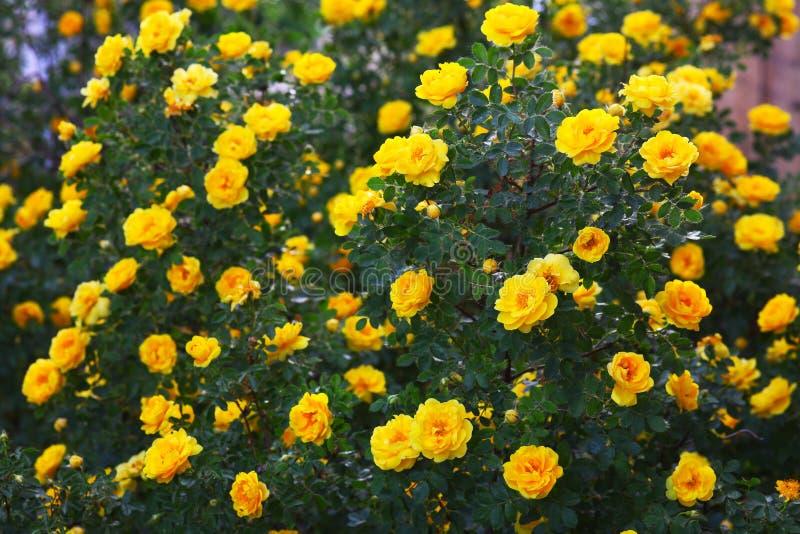 Κίτρινη ταπετσαρία φύσης λουλουδιών ροδαλών θάμνων Briar στοκ εικόνες
