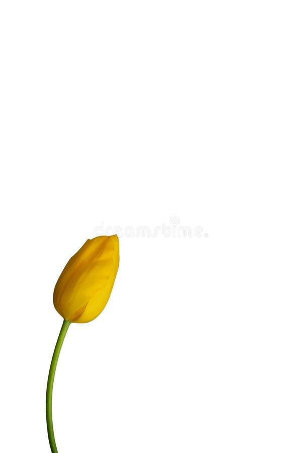 Κίτρινη τουλίπα με το μίσχο που απομονώνεται στο φωτεινό ουδέτερο κλίμα 1 στοκ εικόνα