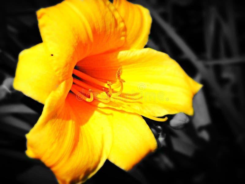 Κίτρινη τουλίπα στοκ φωτογραφίες με δικαίωμα ελεύθερης χρήσης