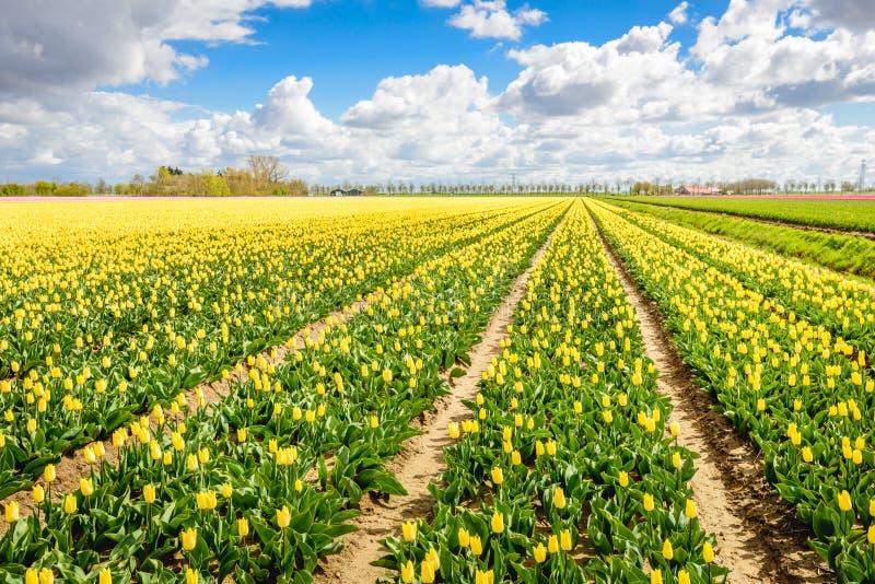 Κίτρινη χρωματισμένη εποχή τομέων τουλιπών την άνοιξη στοκ φωτογραφίες