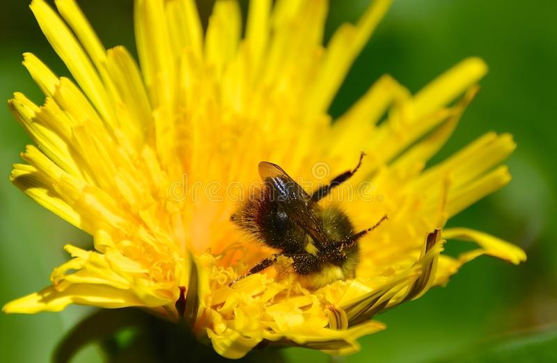 Κίτρινη bumble μέλισσα στοκ φωτογραφίες με δικαίωμα ελεύθερης χρήσης