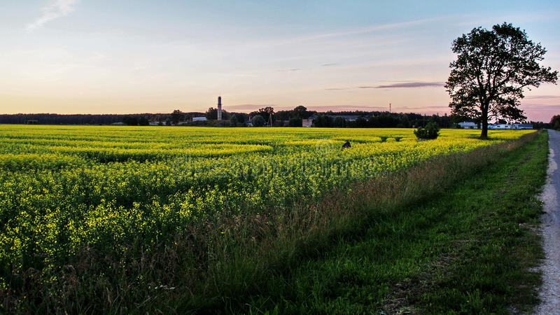 Κίτρινοι δέντρο και ουρανός τομέων στοκ φωτογραφία με δικαίωμα ελεύθερης χρήσης