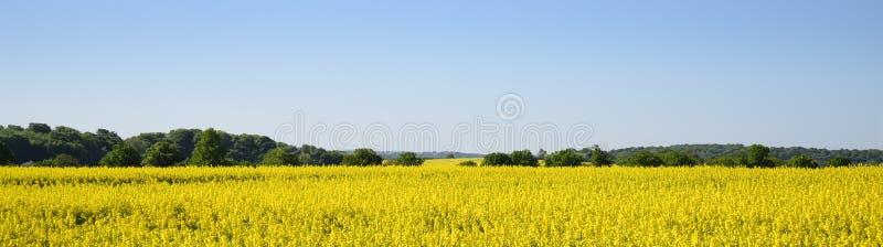 Κίτρινοι ανθίζοντας τομέας και δάσος συναπόσπορων ενάντια στο σαφές μπλε στοκ φωτογραφία