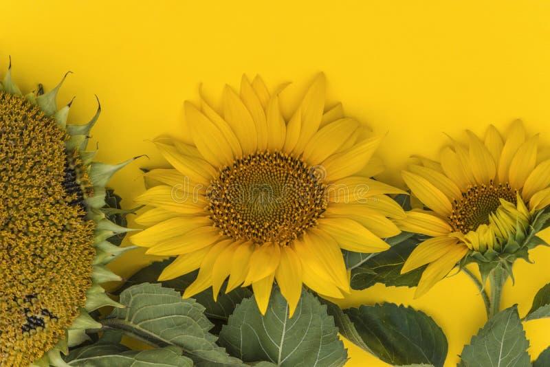 Κίτρινοι ηλίανθοι στις διαφορετικές φάσεις αύξησης στοκ εικόνα