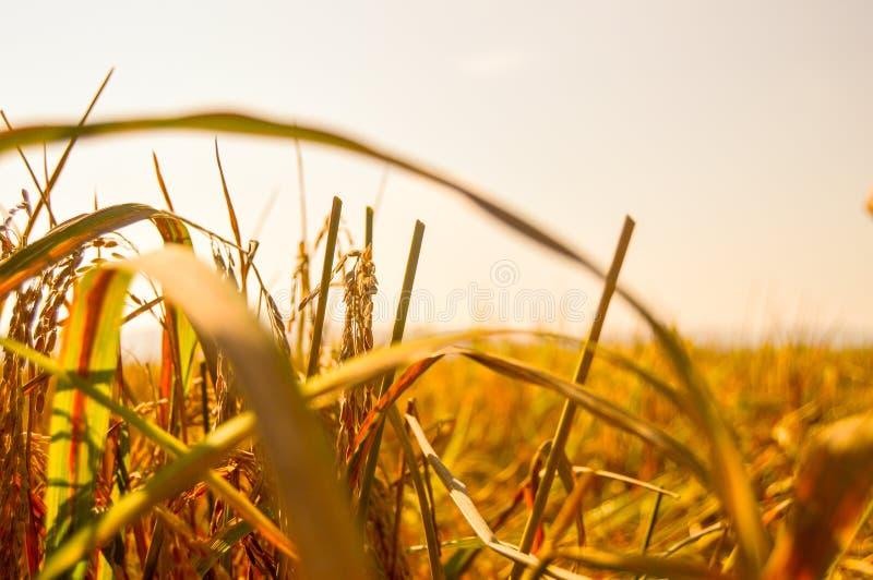 Κίτρινοι κλάδος και φύλλα του ορυζώνα στοκ εικόνες