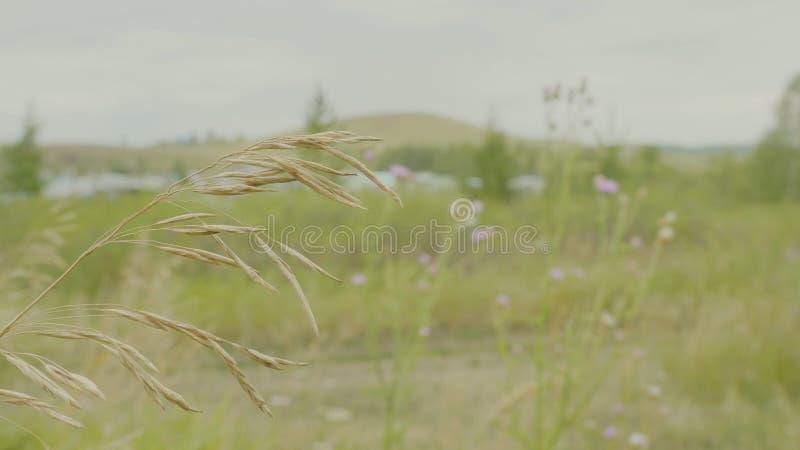 Κίτρινοι κυματισμοί αυτιών στον αέρα στον πράσινο τομέα στοκ φωτογραφία με δικαίωμα ελεύθερης χρήσης