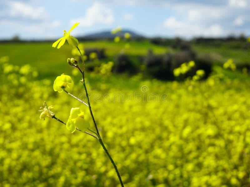 Κίτρινοι λουλούδι και μπλε ουρανός στοκ φωτογραφία