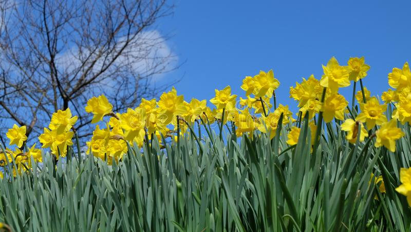 Κίτρινοι νάρκισσοι, Daffodils, πράσινη άδεια και μπλε ουρανός στοκ φωτογραφία