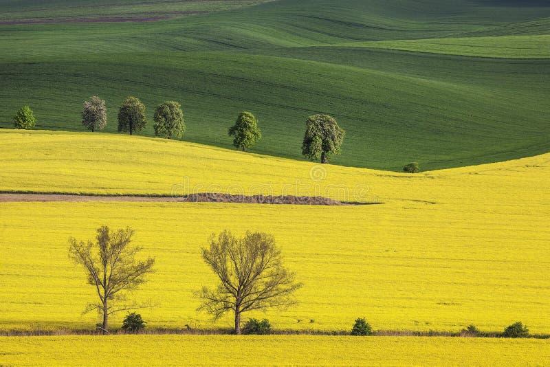 Κίτρινοι τομείς στη νότια Μοραβία στοκ φωτογραφίες
