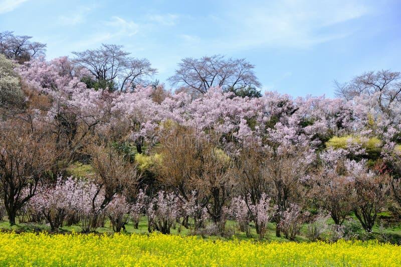 Κίτρινοι τομείς nanohana και ανθίζοντας δέντρα που καλύπτουν τη βουνοπλαγιά, πάρκο Hanamiyama, Φουκουσίμα, Tohoku, Ιαπωνία στοκ εικόνες