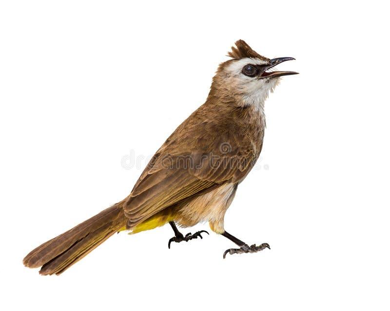 Κίτρινος-αερισμένος bulbul (Pycnonotus πιό goiavier) απομονωμένος στοκ εικόνα με δικαίωμα ελεύθερης χρήσης