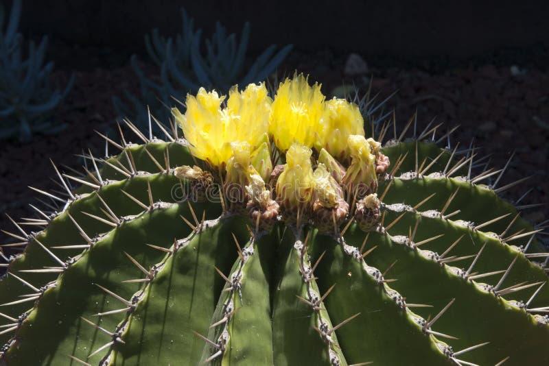 Κίτρινος ανθίζοντας κάκτος schwarzii ferocactus στοκ εικόνα