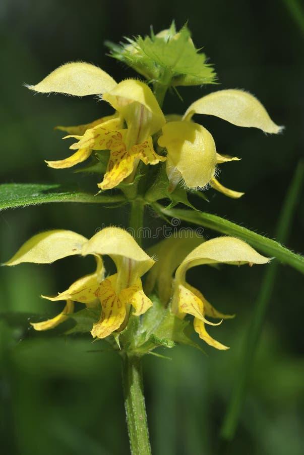 Κίτρινος αρχάγγελος - Lamiastrum galeobdolon στοκ εικόνα