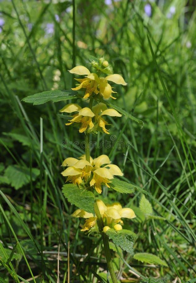 Κίτρινος αρχάγγελος - Lamiastrum galeobdolon στοκ φωτογραφία με δικαίωμα ελεύθερης χρήσης