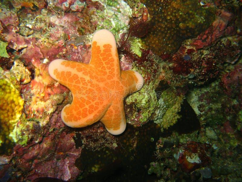 Κίτρινος αστερίας στα ζωηρόχρωμα κοράλλια φύσης στον τροπικό Ειρηνικό Ωκεανό στοκ εικόνα