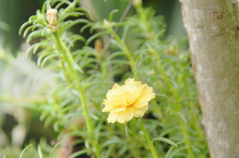Κίτρινος αυξήθηκε βρύο που ανθίζει στον κήπο στοκ εικόνα