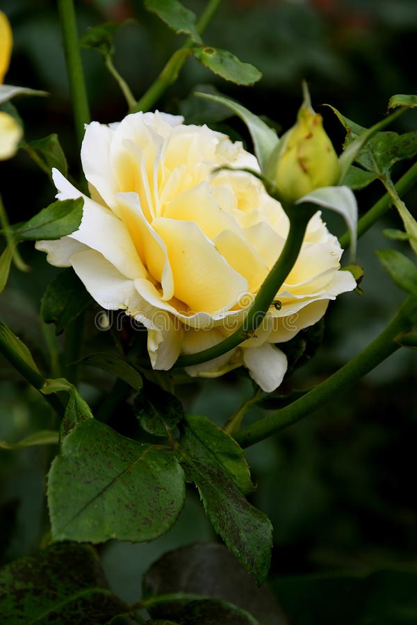 Κίτρινος αυξήθηκε λουλούδια στοκ εικόνες με δικαίωμα ελεύθερης χρήσης