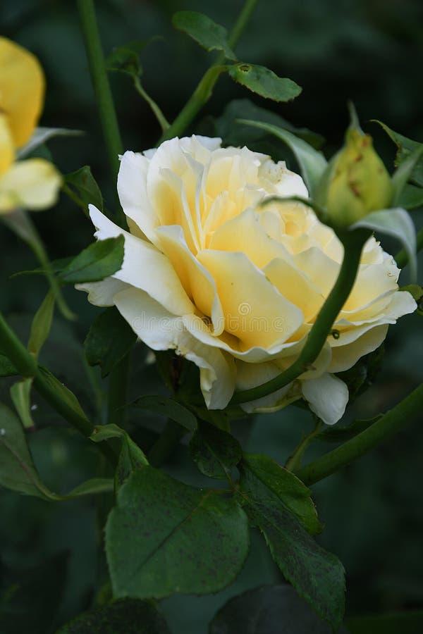 Κίτρινος αυξήθηκε λουλούδια στοκ φωτογραφίες με δικαίωμα ελεύθερης χρήσης