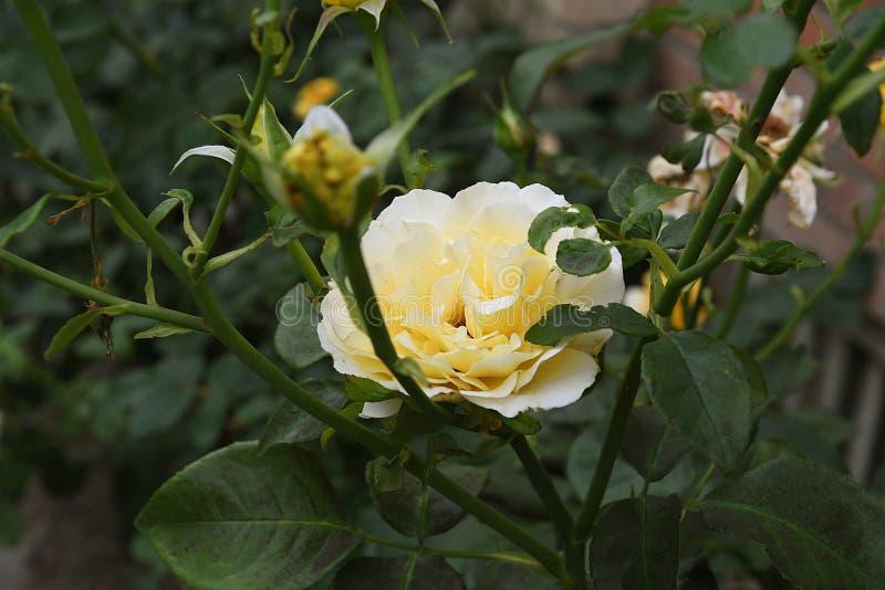 Κίτρινος αυξήθηκε λουλούδια στοκ εικόνες