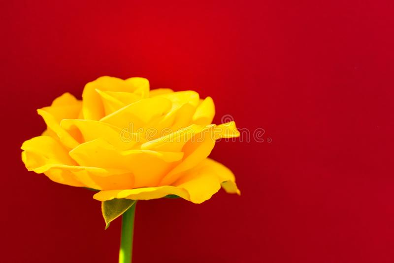 Κίτρινος αυξήθηκε σε ένα κόκκινο υπόβαθρο r στοκ εικόνες με δικαίωμα ελεύθερης χρήσης