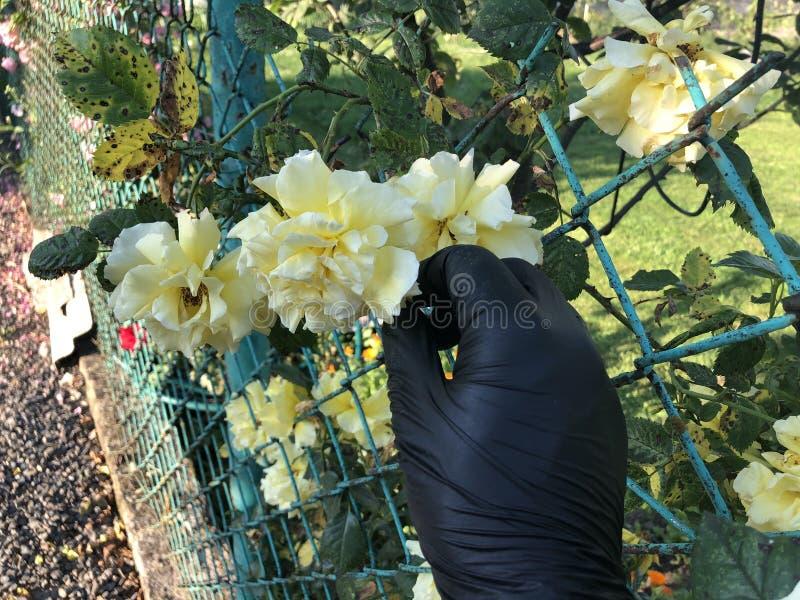 Κίτρινος αυξήθηκε στο μαύρο χέρι στοκ φωτογραφίες