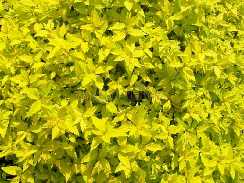 Κίτρινος βγάζει φύλλα στον κήπο στοκ φωτογραφίες