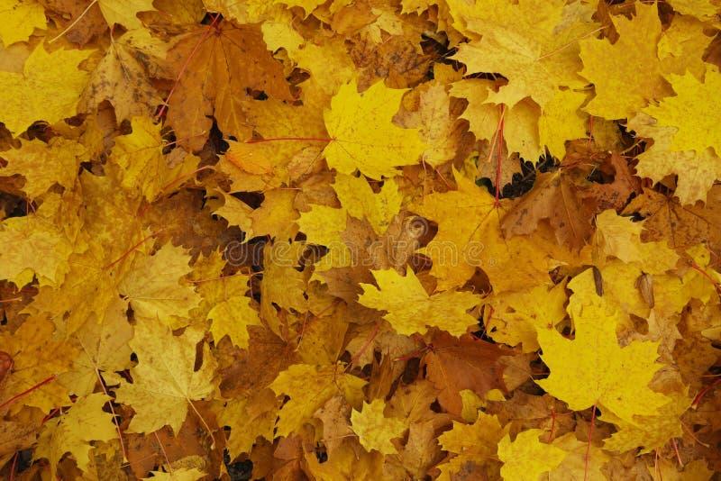 Κίτρινος βγάζει φύλλα στοκ εικόνες