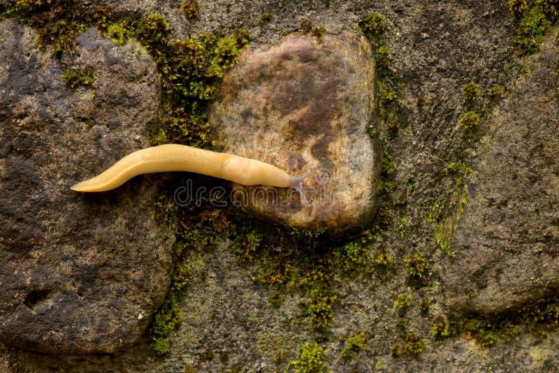 Κίτρινος γυμνοσάλιαγκας στοκ εικόνα με δικαίωμα ελεύθερης χρήσης