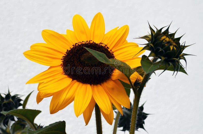 Κίτρινος ηλίανθος και ένας οφθαλμός ανοίγματος στοκ φωτογραφία