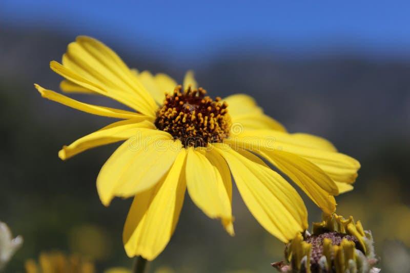 Κίτρινος ηλιόλουστος στοκ εικόνες
