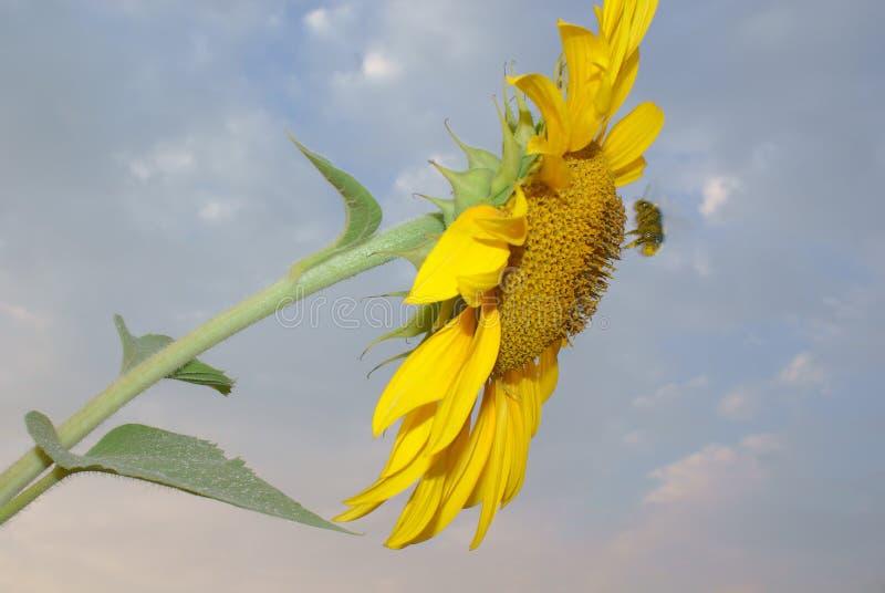 Κίτρινος ηλίανθος λουλουδιών στον μπλε νεφελώδη ουρανό υποβάθρου στοκ φωτογραφία