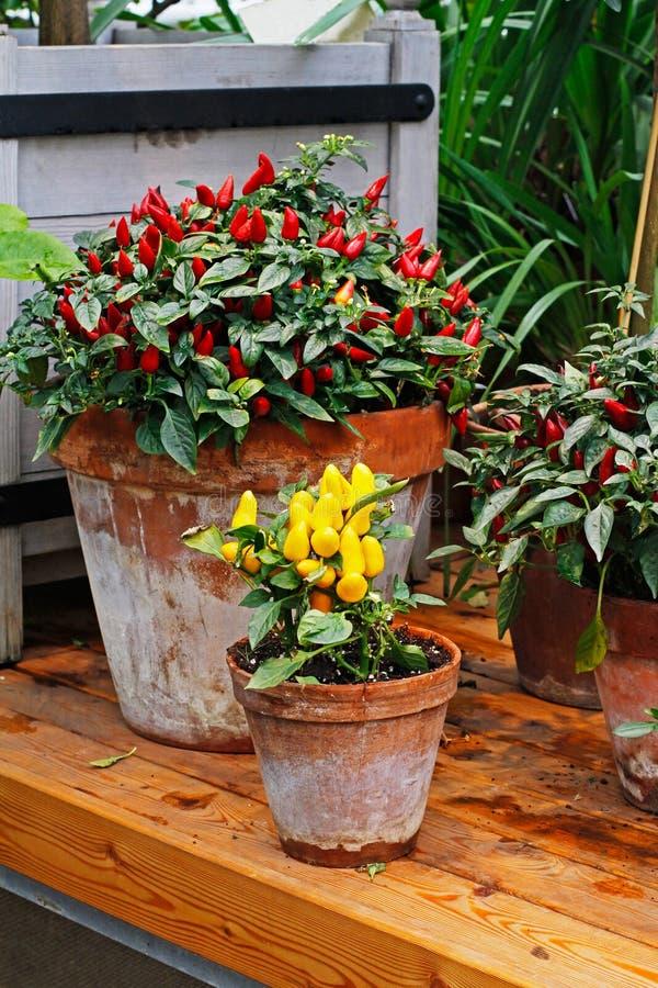 Κίτρινος και κόκκινο - καυτά πιπέρια τσίλι στοκ εικόνες