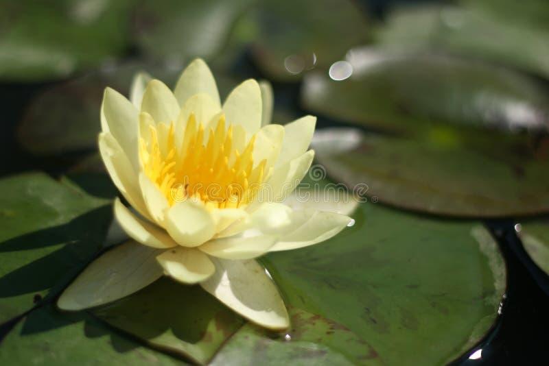 Κίτρινος κρίνος νερού στοκ εικόνες