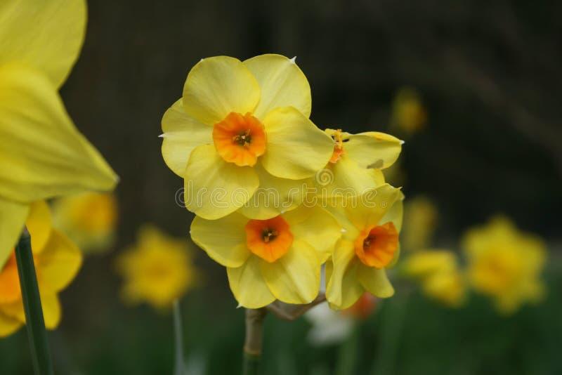Κίτρινος κρίνος Πάσχας στο φυσικό υπόβαθρο το /gele paaslelie στο weide στοκ φωτογραφία με δικαίωμα ελεύθερης χρήσης