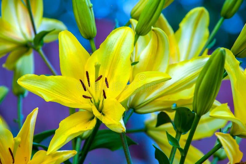 Κίτρινος κρίνος στο θερινό κήπο στοκ εικόνες με δικαίωμα ελεύθερης χρήσης