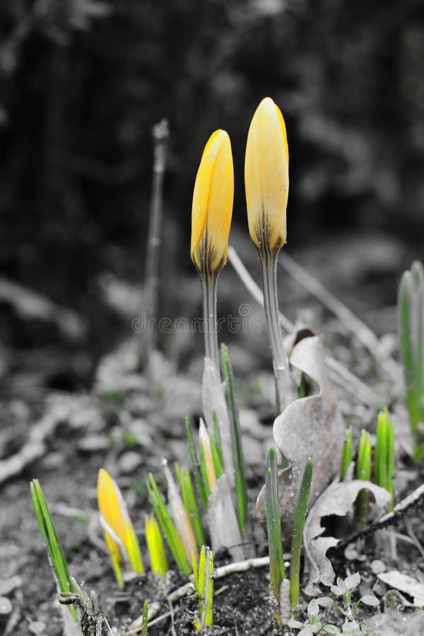 Κίτρινος κρόκος στοκ φωτογραφία με δικαίωμα ελεύθερης χρήσης