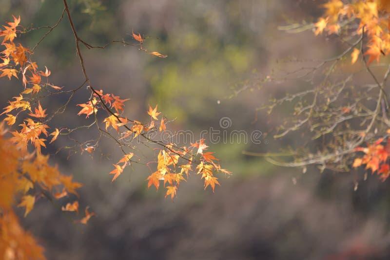 Κίτρινος κόκκινος χειμώνας πτώσης φύλλων σφενδάμου στοκ φωτογραφία