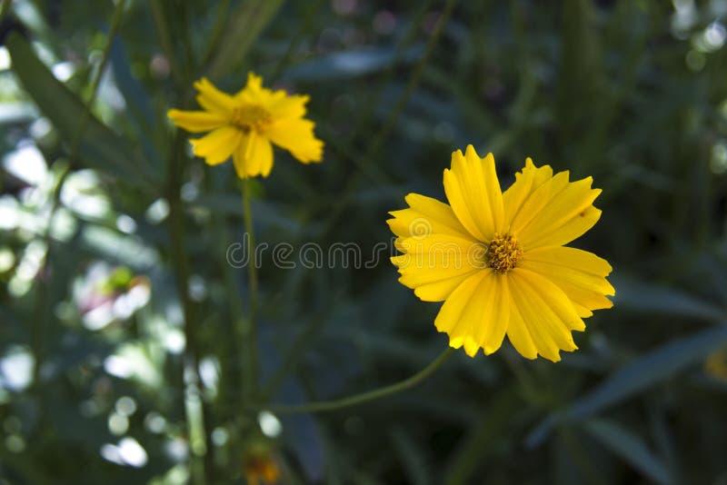 Κίτρινος κόσμος θείου λουλουδιών στοκ φωτογραφία με δικαίωμα ελεύθερης χρήσης