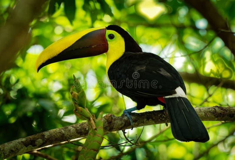 Κίτρινος-μαύρος-Toucan - το ambiguus Ramphastos είναι μεγάλο ένα toucan στην οικογένεια Ramphastidae στοκ εικόνα με δικαίωμα ελεύθερης χρήσης