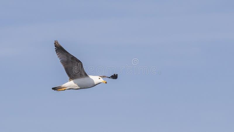 Κίτρινος-με πόδια γλάρος κατά την πτήση με ευρύ ανοικτό φτερών στοκ εικόνες