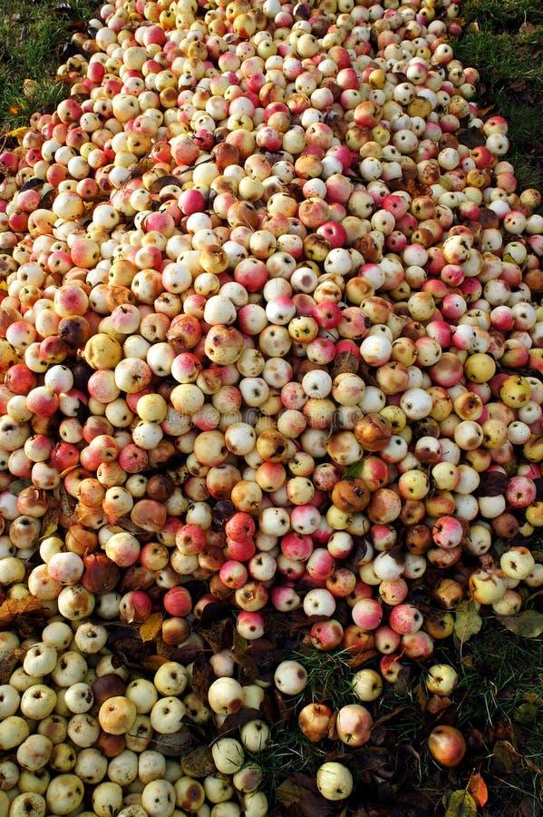Κίτρινος με το κόκκινο υπόβαθρο μήλων Πολλά φρέσκα και σάπια μήλα στο έδαφος στοκ εικόνα