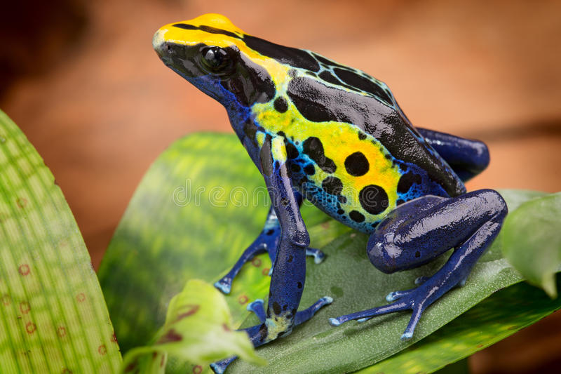 Κίτρινος μπλε βάτραχος βελών δηλητήριων στοκ φωτογραφία με δικαίωμα ελεύθερης χρήσης