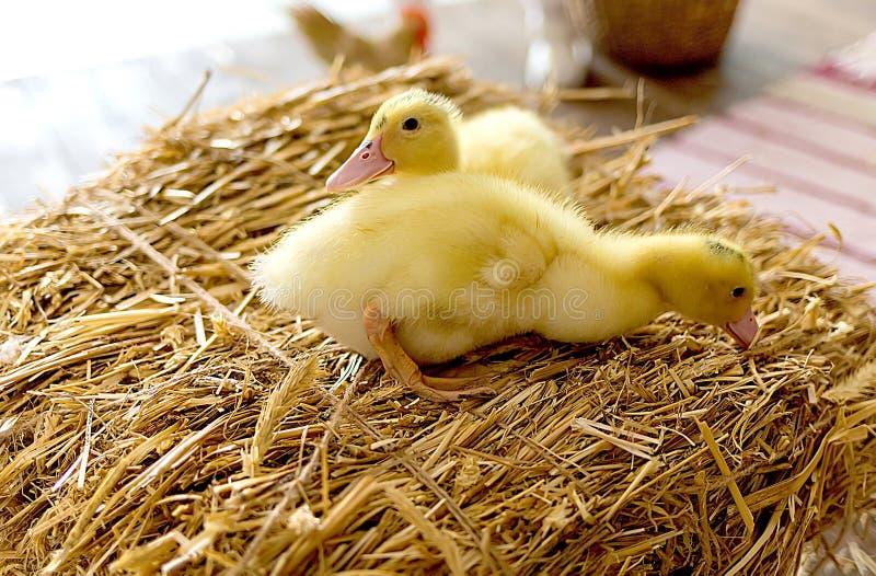 Κίτρινος νεοσσός δύο στο σανό στοκ εικόνες