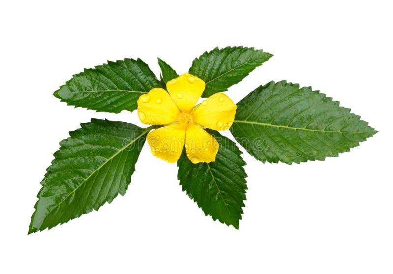 Κίτρινος λογικός αυξήθηκε λουλούδι με τη δροσιά στο άσπρο υπόβαθρο στοκ εικόνες