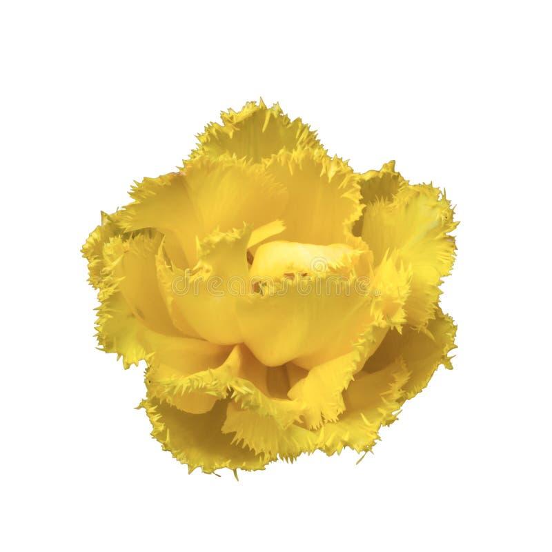 Κίτρινος πλαισιωμένος εξωτικός ήλιος ` τουλιπών ` στοκ εικόνες