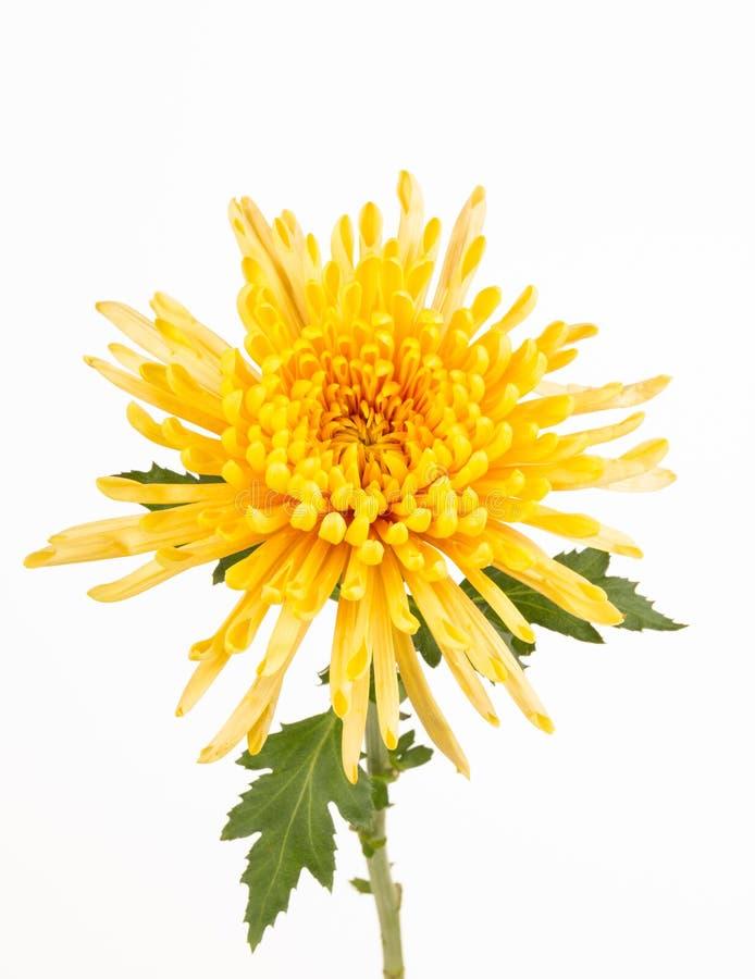 Κίτρινος στενός επάνω αραχνών mum στοκ εικόνες